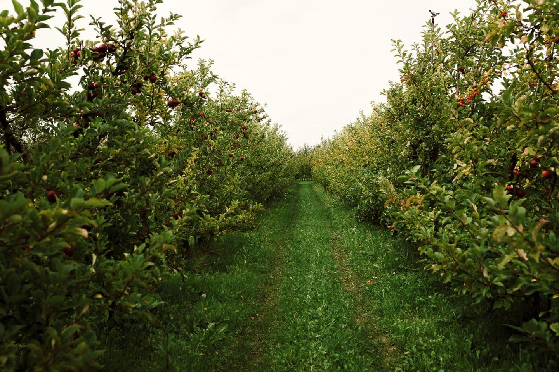 Apfelbaumreihen auf dem Herzapfelhof