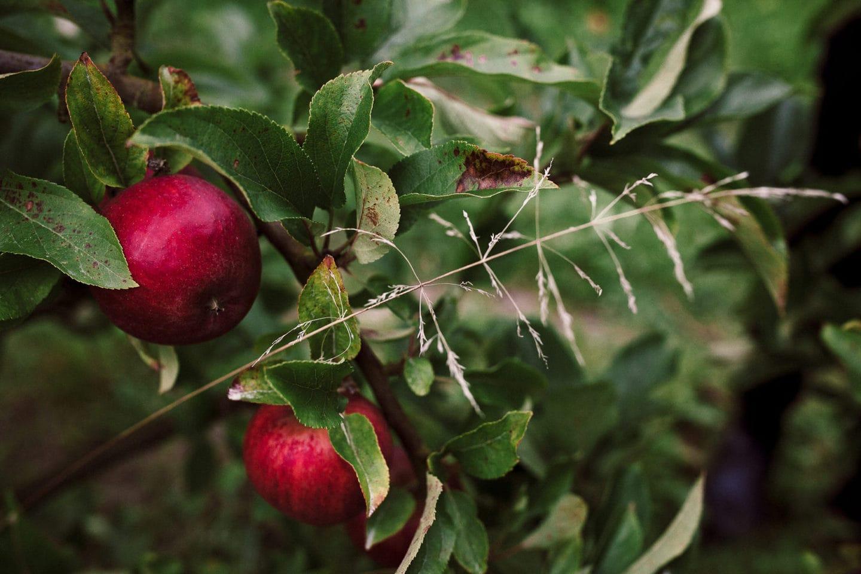 Apfel an einem Baum