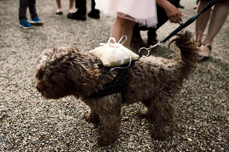 Hund mit Ringkissen